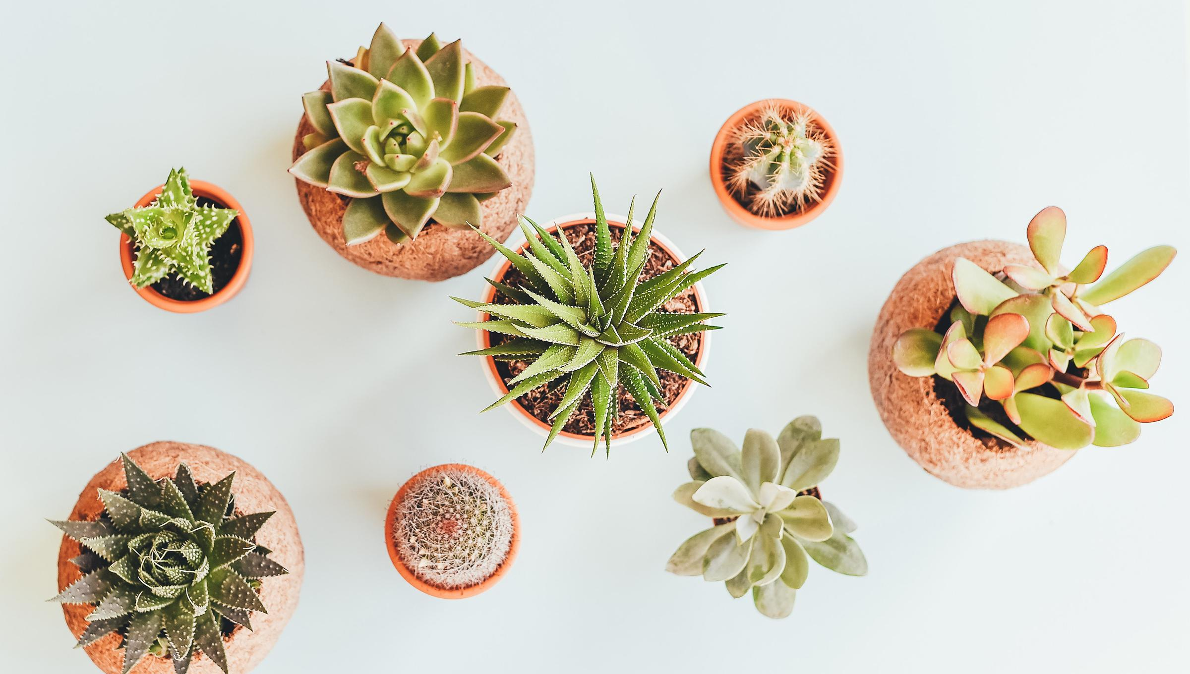 Potted-succulents