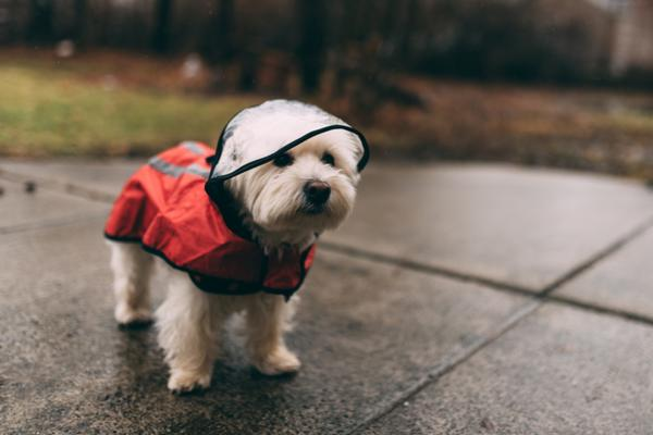 a small white dog in a raincoat
