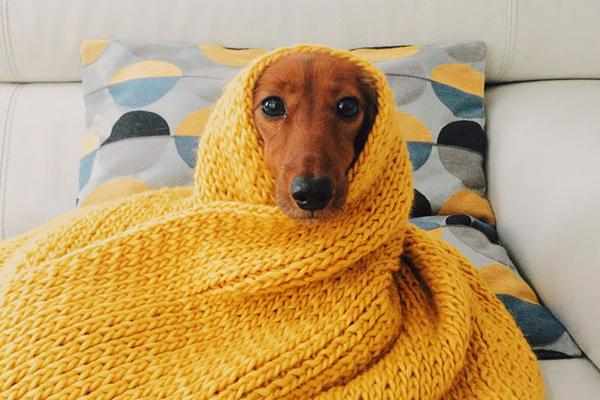 sick-cold-remedies-dog-in-blanket