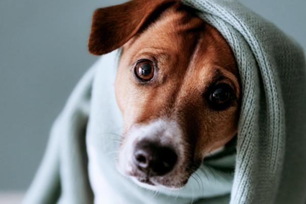 A cute dog is wrapped in a warm blanket.
